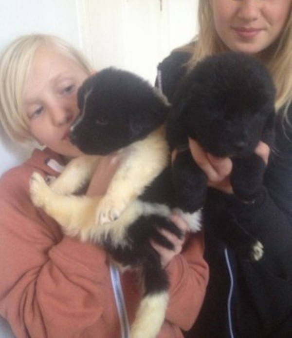 Utmerket Temperament KC Reg Tibetansk mastiff pups opp for adopsjon.