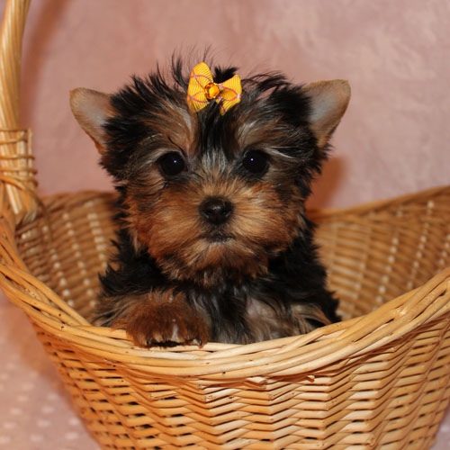 potty trent yorkshire terrier valper for nye boliger