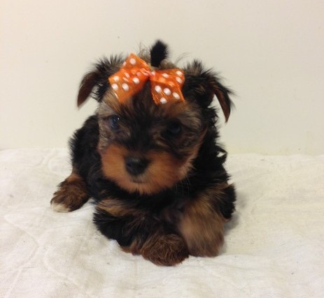 brun / tan yorkshire terrier valper for adopsjon