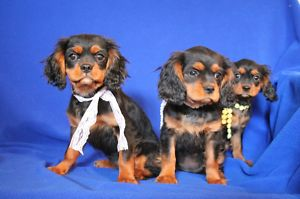 CAVALIER KING CHARLES SPANIEL FEMALES FOR SALE