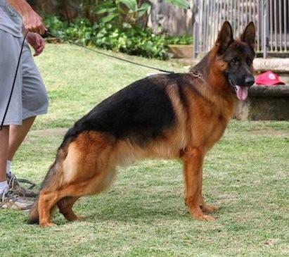 Gjeterhund til salgs