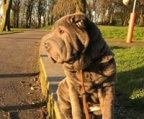 shar pei Norge