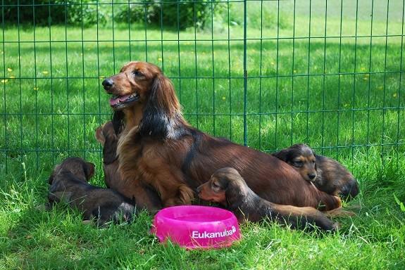 breton hund til salg
