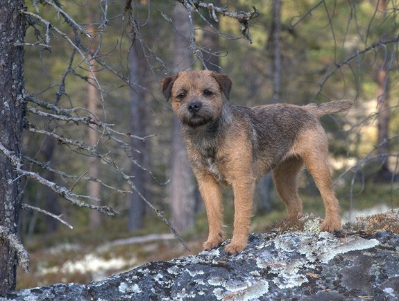Border terrier valper