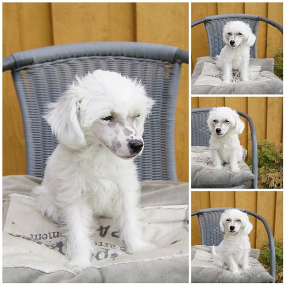 chinese crested powder puff valp