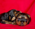 Yorkshire terrier i norge