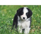 Border collie valp pris