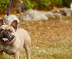 french bulldog hund