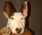mini valper bull terrier