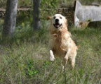 Golden Retriever hunder