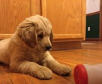 Golden retriever valper pris