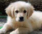 golden retriever valp fakta