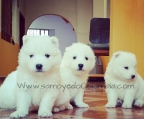 Kennel samojed