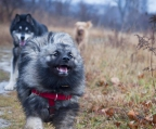 kennel Norge Keeshond