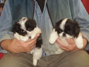 2 Japanese Chin Puppies